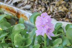 Sväva för vattenhyacint som är härligt i naturen Java Weed Royaltyfria Foton