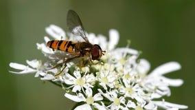 Sväva flugan, Svävande-flugan, flugan, Syrphidae stock video