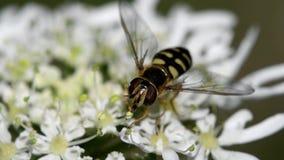 Sväva flugan, Svävande-flugan, flugan, Syrphidae lager videofilmer