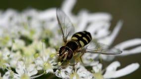 Sväva flugan, Svävande-flugan, flugan, Syrphidae arkivfilmer