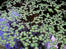 Sväva lilys Royaltyfri Foto