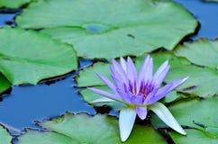 Sväva Lotus. Royaltyfria Foton