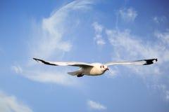 sväva seagull Arkivbilder