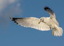 sväva seagull för flyg Arkivbilder