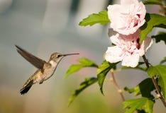 sväva throated hummingbirdruby Royaltyfri Bild