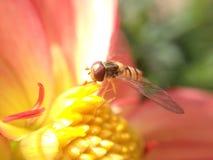 Svävandefluga på en dahlia Fotografering för Bildbyråer