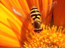 Svävandefluga på ett kronblad Fotografering för Bildbyråer