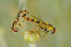 Svävandefluga under att para ihop royaltyfri fotografi