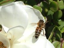Svävandegeting på den vita blomman Arkivbilder