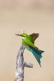 Svala tailed bi-ätare Royaltyfri Foto