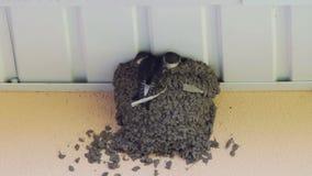 Svalafågelungar i redet sväljer matande fågelungar arkivfilmer