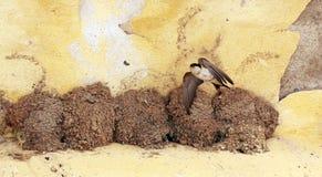 Svalafåglar Arkivbild