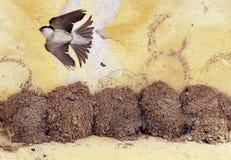 Svalafåglar Fotografering för Bildbyråer