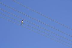 Svalan sätta sig på en tråd och en blå himmel royaltyfri foto