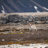 Svalbard τάρανδος Στοκ φωτογραφία με δικαίωμα ελεύθερης χρήσης