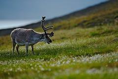 Svalbard deer on the meadow in Svalbard. Reindeer, Rangifer tarandus, with massive antlers in the green grass, Svalbard, Norway. W Stock Photo