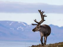Free Svalbard Male Reindeer With Big Antlers Walking In Bjorndalen In Summer, Svalbard Royalty Free Stock Image - 101718916