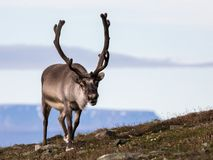 Free Svalbard Male Reindeer With Big Antlers Walking In Bjorndalen In Summer, Svalbard Royalty Free Stock Photos - 101719278