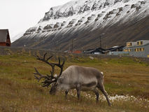Svalbard Reindeer. (Rangifer tarandus platyrhynchus). Longyearbyen, Svalbard, Norway royalty free stock images