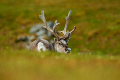 Svalbard Reindeer, Rangifer tarandus, animal sitting in the green grass with massive antlers, nature habitat, Svalbard, Norway Royalty Free Stock Photography