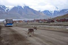 Svalbard reindeer in town Royalty Free Stock Image