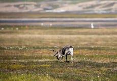Svalbard ren i sommar på Svalbard Royaltyfri Bild
