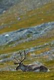 Svalbard-Ren, Rangifer tarandus, mit den enormen Geweihen, im grünen Gras Svalbard, Norwegen Stockfotografie