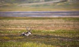 Svalbard reniferowy lying on the beach na tundrze w lecie przy Svalbard Zdjęcie Royalty Free