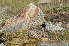 Svalbard Rock ptarmigan, female with summer plumage, lying on ground in summer, Svalbard. Rock ptarmigan, Lagopus muta, female with summer plumage, Gruvefjellet Stock Image