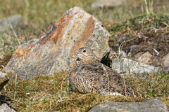 Svalbard Rock ptarmigan, female with summer plumage, lying on ground in summer, Svalbard Stock Photo