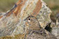 Svalbard Rock ptarmigan, female with summer plumage, Svalbard, close up. Rock ptarmigan, Lagopus muta, female with summer plumage, close up of head, looking left Stock Photo
