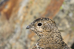 Svalbard Rock ptarmigan, female with summer plumage, Svalbard, close up. Rock ptarmigan, Lagopus muta, female with summer plumage, close up of head, looking left Royalty Free Stock Photos