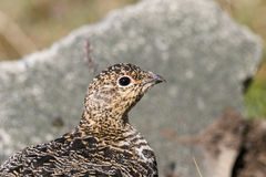 Svalbard Rock ptarmigan, female with summer plumage, Svalbard, close up Royalty Free Stock Photography