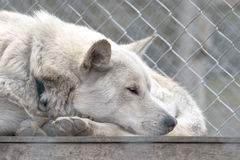 Svalbard sled dog farm Stock Photo