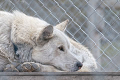 Svalbard sled dog farm Stock Image