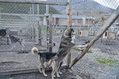 Svalbard sled dog farm Royalty Free Stock Photo