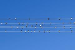 Svalor på tråden Arkivfoto
