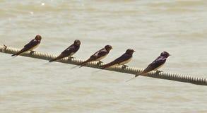 Svalor vilar på kabel ovanför floden Po arkivfoto