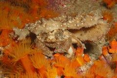 svamp för redeye för krabbadromiaerythropus royaltyfri fotografi
