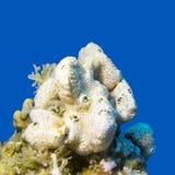 Svamp för vitt hav i det tropiska havet på en bakgrund av blått vatten Fotografering för Bildbyråer