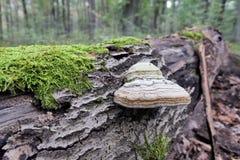 Svamp Fomesfomentarius för fnöske på den döda trädstammen Arkivfoto