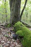 Svamp Fomesfomentarius för gammal fnöske på den döda trädstammen Royaltyfri Foto