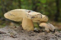 Svamp Gyroporus cyanescens Fotografering för Bildbyråer