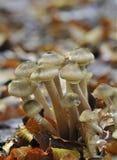 svamp honungmellea för armillaria Royaltyfri Bild