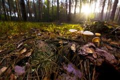 Svamp i skogen Arkivfoto