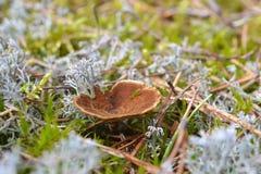 Svamp och Cladonia Royaltyfri Foto