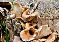 Svamp som växer på en trädstubbe Royaltyfri Bild