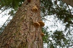 Svamp som växer på ett träd i trät royaltyfria bilder