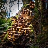 Svampar på en björkträdstubbe royaltyfria foton