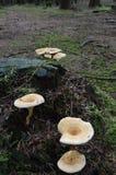 Svampar som växer i hösten Arkivfoto